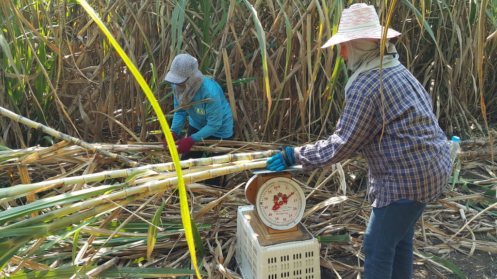 เมื่อวันที่ 17 มกราคม 2561 ที่ผ่านมา ได้ดำเนินการเก็บข้อมูลแปลงทดสอบพันธุ์ อำเภอศรีเทพ จังหวัด เพรชบูรณ์