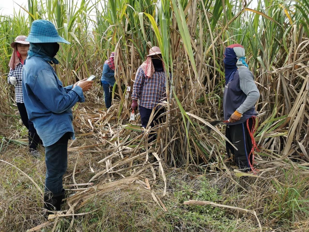 เมื่อวันที่ 27 สิงหาคม 2562   ที่ผ่านมา คณะที่ปรึกษาฯได้ดำเนินการเข้าทำการคัดเลือกพันธุ์อ้อย ณ ศูนย์การปรับปรุงพันธุ์อ้อยแห่งประเทศไทย (TSBC)