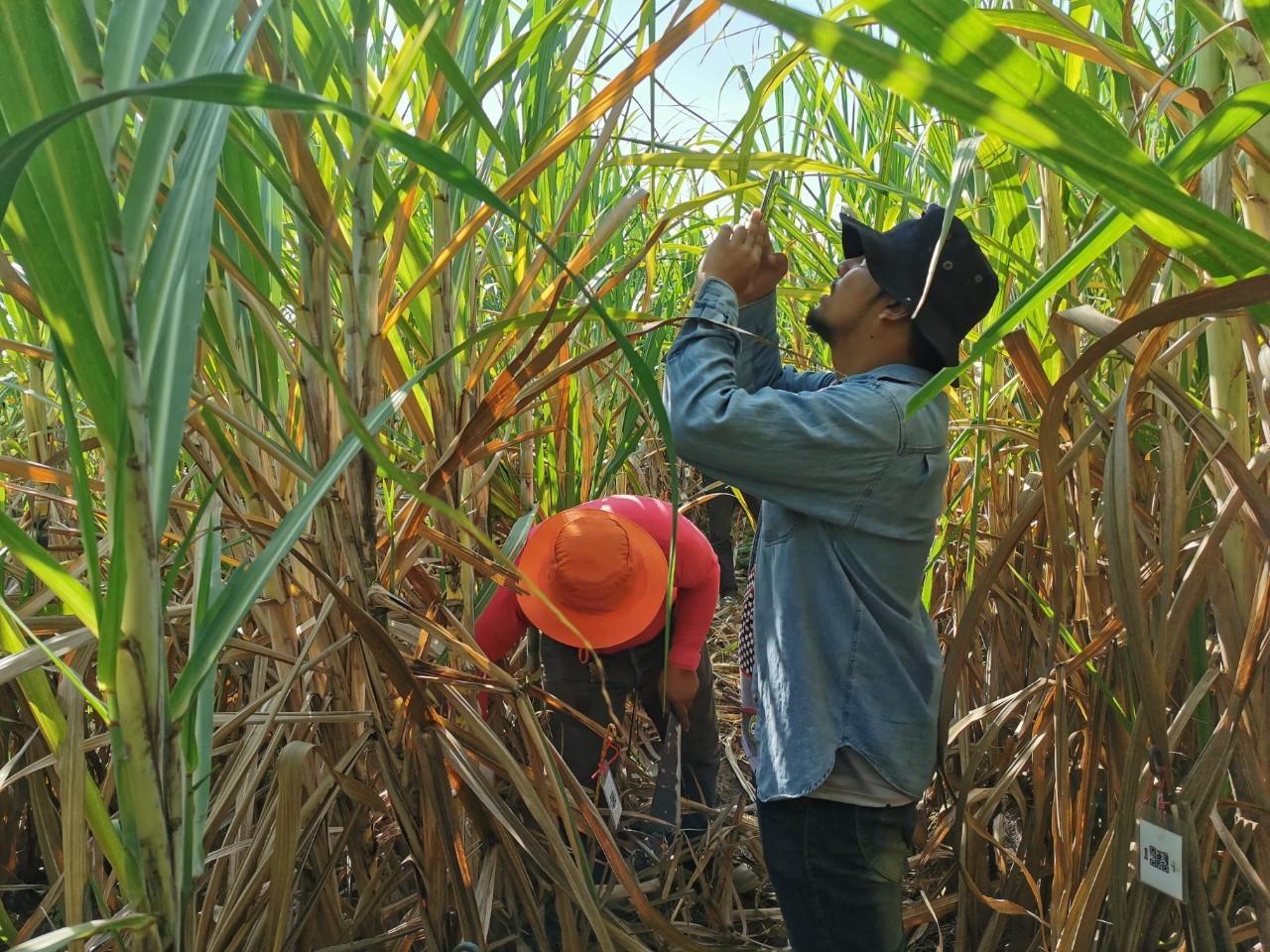 เมื่อวันที่ 21 เมษายน 2563 ที่ผ่านมา ทีมงานโครงการเข้าคัดเลือกพันธุ์อ้อยขั้นที่ 1 ผ่านApplication ณ ศูนย์การปรับปรุงพันธุ์อ้อยแห่งประเทศไทย (Thailand Sugarcane Breeding Center)
