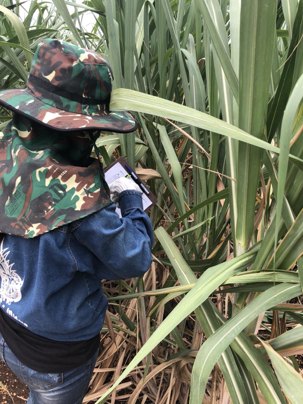 เมื่อระหว่างวันที่ 27-29 มีนาคม 2561 ที่ผ่านมา ทีมงานโครงการพัฒนาเพื่อปรับโครงสร้างการปรับปรุงพันธุ์อ้อยฯ (ปีงบประมาณ 2561)เดินทางไปสำรวจโรคในแปลงอ้อยคัดเลือกพันธุ์ จ.สระบุรี